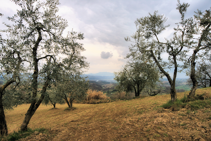 Olive grove in winter – Sabine Hills